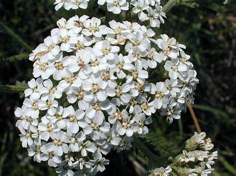 white yarrow picture 3