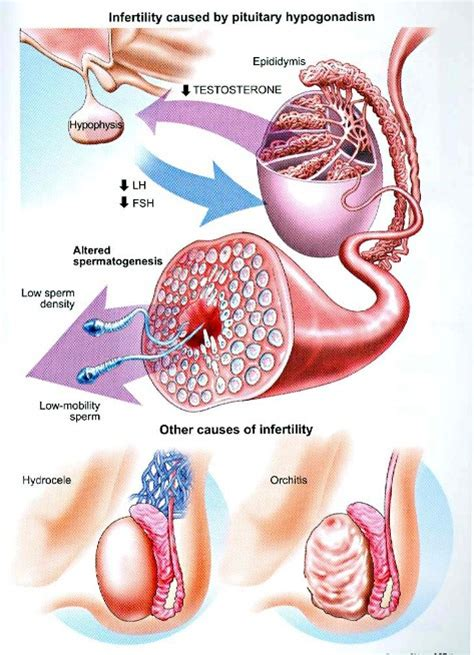 testosterone hormone during pregnancy picture 9