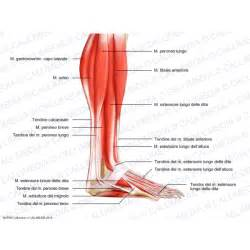 lateral lower leg muscle picture 6