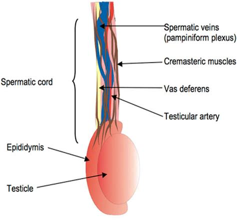 Epididymitis a urethral picture 2