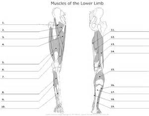 lower body muscle diagram picture 3