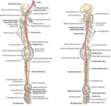 lower leg artery anatomy on web md picture 7