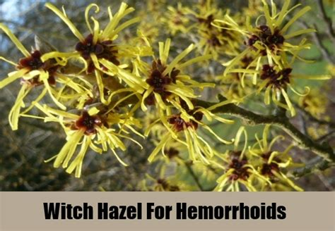 witch hazel for hemorrhoids picture 2