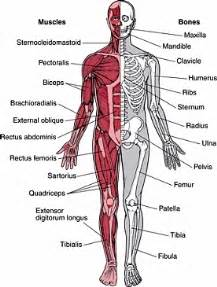 how the muscle system works picture 11