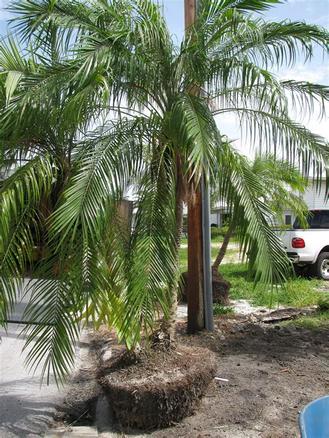 acai palms for sale picture 11