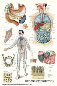 anatomy digestion picture 11