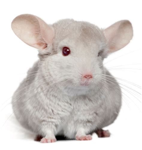 chinchilla thyroid problems picture 5
