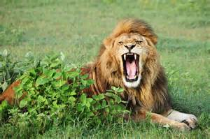 lion teeth picture 11