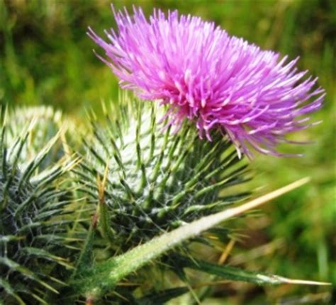 where to get organic thistle control picture 5