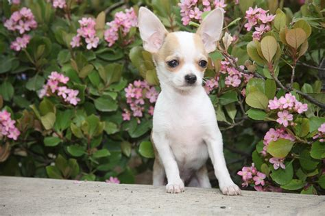 mexican short hair chihuahua picture 1