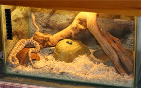 loss of appee in corn snakes picture 10