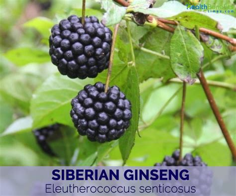 siberian eleuthero health benefits picture 2