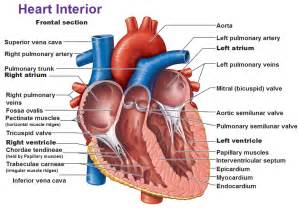blood flow diagram of heart picture 9