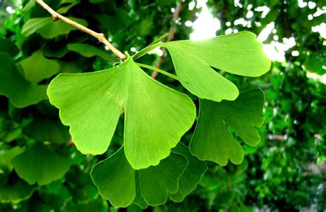 information on the ginkgo tree picture 10