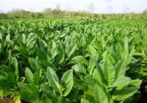 tobacco picture 2