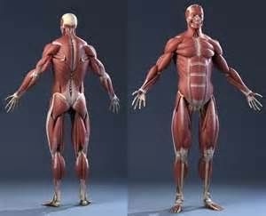 anatomy muscle model picture 17