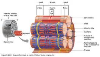 anatomy of skeletal muscle fiber picture 1