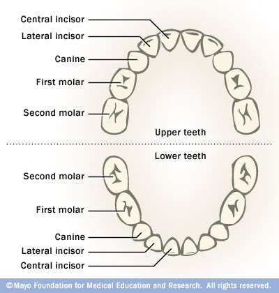 chart of your teeth picture 14