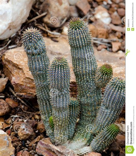 growing the hoodia cactus plant picture 1