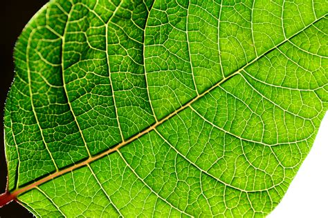 green leaf picture 9