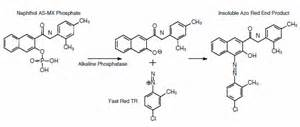 intestinal alkaline phosphotase picture 5