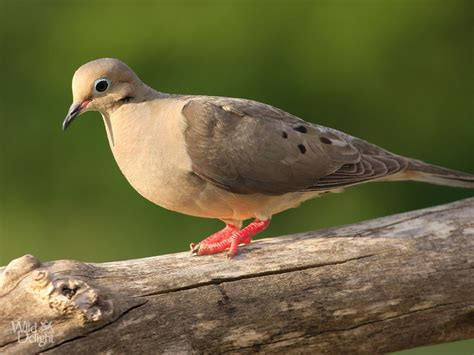 mourning dove diet picture 2