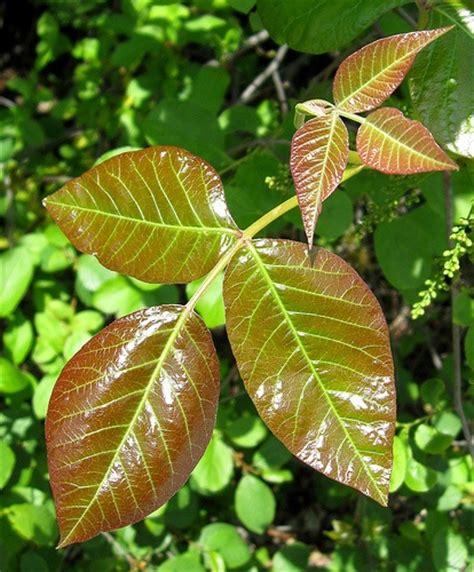 homeo medicine damia plant picture 6