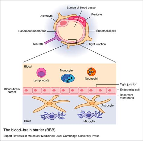 what amino acids help blood flow picture 14