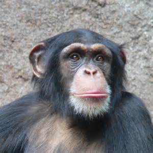 skin color in chimpanzees picture 2