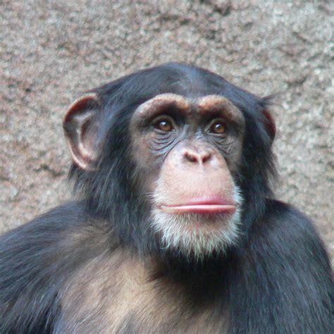 skin color in chimpanzees picture 1