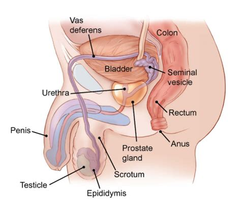 nerves found in the penis and ball sack picture 10