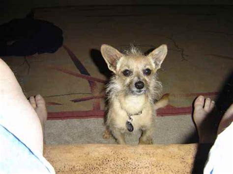 wired hair chihuahua picture 3