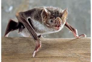 pictures of vampire bats sleeping picture 10