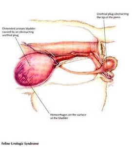 african deseases affecting the bladder picture 2