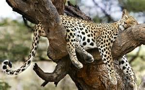cheetah sleeping in a tree picture 2