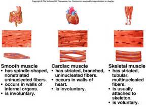 itric contraction in skeletal muscle tissue picture 11