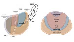 Prostate gland structure picture 6