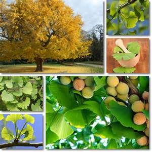 is ginkgo used as a blood thinner picture 7