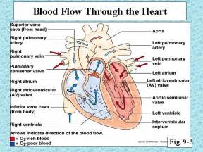 blood flow to the penis diagram picture 2