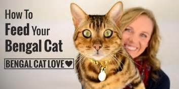 bengal cats information on diet picture 2