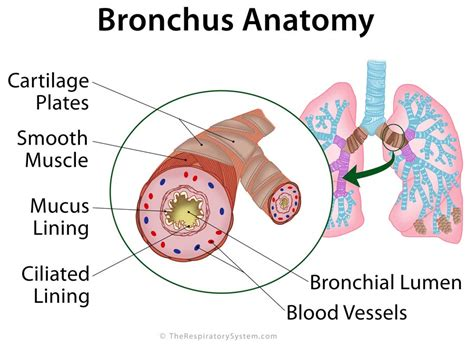 bronchial smooth muscle picture 10