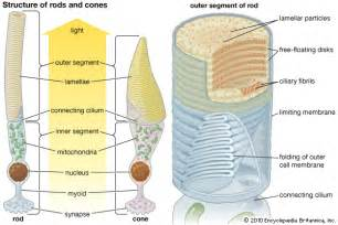 is rhodopsin located in skin cells picture 17