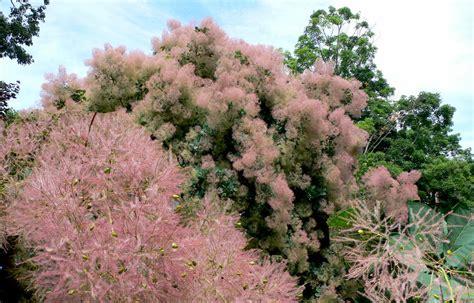 pink mist smoke tree picture 1