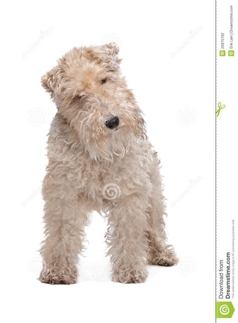 wire hair fox terriers web 9818 picture 13
