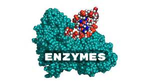 enzymes picture 6