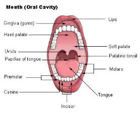 digestion the mouth picture 14