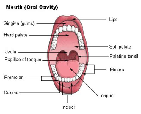 digestion the mouth picture 2