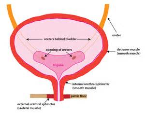 bladder muscles picture 9