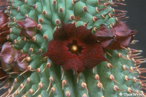 hoodia what is it picture 2