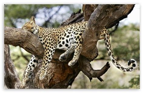 picture cheetah sleeping in a tree picture 1